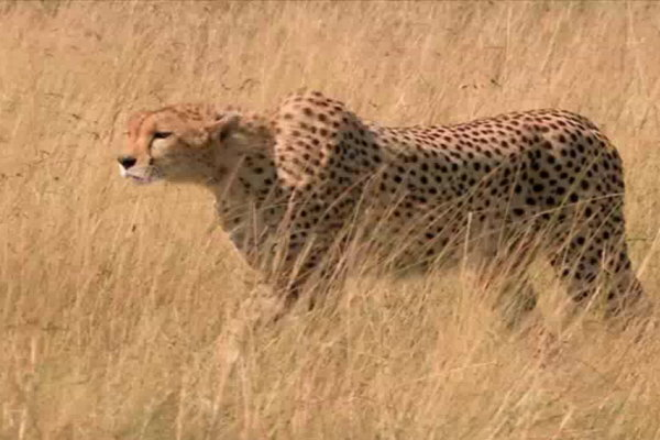 the story of how bruce caught the cheetah Kenyans chase down and catch goat-killing cheetahs 15 november 2013 we caught them and we brought them to the local share this story about sharing.